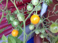 Tomaten #3